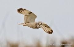 Short Eared Owl from Aust (snapp3r) Tags: seo aust shortearedowl