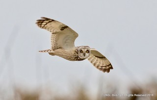Short Eared Owl from Aust