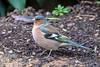 Chaffinch  -  Buckfink ♂︎ (CJH Natural) Tags: chaffinch buckfink finch fink garden pose bird wildlife nature natural birder birding