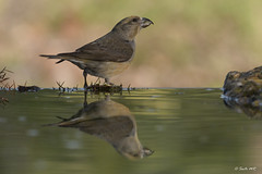 _SEN6406-E (Sento74) Tags: piquituerto loxiacurvirostra aves birds fauna nikond500 tamron150600g2 ngc