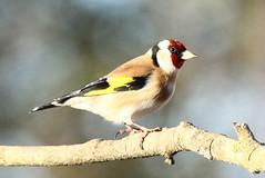 Goldfinch - from the willow hide (glostopcat) Tags: goldfinch finch bird songbird february winter glos slimbridge wildfowlwetlandstrust