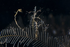 Skeleton shrimp on hydroid