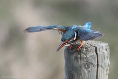 Alcedo atthis (De Hollena) Tags: alcedoatthis eisvogel ijsvogel kingfisher martinpêcheurdeurope martínpescador