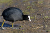 Coot North Norfolk (JohnMannPhoto) Tags: coot feet norfolk
