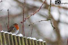 March Robin (Mike House Photography) Tags: bird garden birdwatching outdoors outdoor outside animals ornithology park parks tree brown white snow snowing spotting flakes powder robin eurasian european red