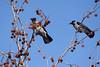 Le cornacchie sul liquidambar (STE) Tags: anzasco lago viverone cornacchia cornacchie corvus corone carrion crow crows rami branches liquidambar