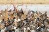 Northern Pintails (dpsager) Tags: bird birds bosquedelapache bosquedelapachenationalwildliferefuge dpsagerphotograph newmexico northernpintail socorrocounty ducks saariysqualitypictures