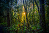 Seeking the Sun (Martin Smith - Having the Time of my Life) Tags: seekingthesun campbellvalleypark langley bc martinsmith ©martinsmith nikond750 nikkor2485mmf3545gedvr nikcolorefex landscape forest sunburst sun britishcolumbia canada ca salal ferns moss