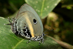 Mithras nautes (Camerar 4 million views!) Tags: butterfly lycaenidae mithrasnautes peru butterflies insect