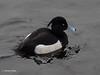 Tufted Duck  P1201551sm (Preselector) Tags: suttonpark suttoncoldfield suttoncoldfieldrspb winter bgbw tuftedduck