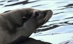 Robbe/Seal (babsbaron) Tags: nature tiere animals säugetiere mammals robben seals raubtiere predators canon zoo zoom erlebniswelt gelsenkirchen