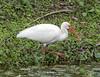 01-22-18-00003532 (Lake Worth) Tags: animal animals bird birds birdwatcher everglades southflorida feathers florida nature outdoor outdoors waterbirds wetlands wildlife wings