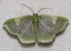 Geometrid Moth (Phrudocentra hydatodes) (berniedup) Tags: belizon roura guyane moth geometridae phrudocentrahydatodes taxonomy:binomial=phrudocentrahydatodes