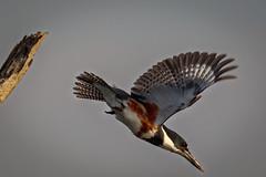 On the way down (bodro) Tags: bolsachica beginningofthedive bird birdinflight birdphotography dive ecologicalreserve kingfisher liftoff shallows spreadtail spreadwings takeoff wetlands