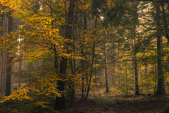 An Autumn Flashback (Netsrak) Tags: baum bäume eifel europa europe forst landschaft natur nebel wald fog landscape mist nature tree trees woods herbst autumn fall