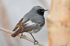 Aprox. (Enllasez - Enric LLaó) Tags: aves aus bird ocells pájaros cotxafumada colirrojotizón reus 2018