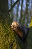 V (dagomir.oniwenko1) Tags: boston lincolnshire animals ferret nature england edis08edis08 tree uk gb