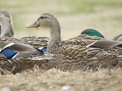 It's eating time on Duck Hill for the Mallards in Sarah T. Bolton Park. (kennethkonica) Tags: nature birds animalplanet animal animaleyes autumn canonpowershot canon usa america midwest indianapolis indiana indy color outdoor wildlife duck mallard