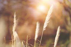 Winters Warmth... (KissThePixel) Tags: reed reeds bush winter february sunlight flora winterflora macro bokeh light sun sunshine flowers meadow garden mygarden trees cottage cottagegarden sunset nikon nikond750 f14 85mm