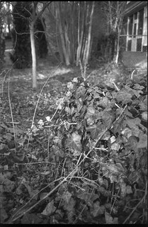 ivy thicket, tree trunks, conifer tree, architecture, West Asheville, NC, Olympus XA, Ilford FP4+, Moersch Eco Film Developer, early February 2018