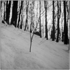 Survivor (Koprek) Tags: yashicamat124g fomapan 100 cevo croatia winter snow february 2018 mountain