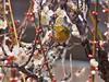 P2242219 (eriko_jpn) Tags: prunusmume plumblossom zosteropsjaponicus japanesewhiteeye bird