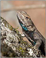 Eastern Fence Lizard (male) DSC_4171 (blindhogmike) Tags: macro eastern fence lizard chapin south carolina sc lexington county reptile littlemountain