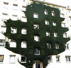 Baum oder Strauch? (ingrid eulenfan) Tags: leipzig haus architektur efeu wand iillusion fenster gebäude