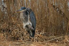 Great Blue Heron (Carlos Carreras) Tags: greatblueheron edwinbforsythe newjersey nature nj njbirds wildlife birds bird blue baskingridge