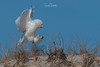 Snowy Owls of New Jersey   2018 - 21 (RGL_Photography) Tags: beachowl birding birds birdsofprey birdwatching buboscandiacus gardenstate jerseyshore mothernature nature newjersey nikonafs600mmf4gedvr nikond500 oceancounty ornithology owls raptors snowyowl us unitedstates wildlife wildlifephotography bif birdsinflight