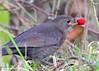 Blackbird (gillybooze) Tags: ©allrightsreserved bird blackbird birdwatcher outdoor berry grass dof shrub bokeh hedge