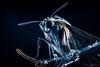 (Rodri Valdez) Tags: macro moth polilla photography closeup close up details detalles acercamiento blue light flash sony camera a77ii mk2