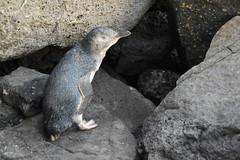 Little Penguin (Eudyptula minor) (Seventh Heaven Photography) Tags: fairy penguin little eudyptula minor nocturnal kororā korora blue nikond3200 bird animal melbourne victoria australia st saint kilda pier aves rocks coastline