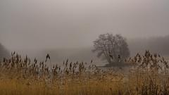 foggy island (ralfkai41) Tags: bäume trees nebel landschaft landscape nature mist schilf reed outdoor island fog insel natur