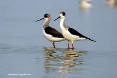 IMG_5640 Black-winged Stilt (Himantopus himantopus) (vlupadya) Tags: greatnature animal aves fauna indianbords blackwinged stilt himantopus kkundapura karnataka