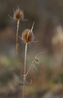Cool things seen on a winter walk. Three teasel heads and a pair of curlycue leafletts