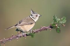 Chapim-de-Poupa // Parus Cristatus // Crested Tit (Jangada2011) Tags: chapimdepoupa paruscristatus crestedtit