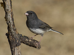 Dark-eyed Junco, male (AllHarts) Tags: maledarkeyedjunco backyardbirds memphistn naturesspirit thesunshinegroup naturescarousel ngc npc feathersbeaks