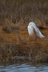 Snowy Owls of New Jersey | 2018 - 9 (RGL_Photography) Tags: atlanticcountycounty birding birds birdsofprey birdwatching buboscandiacus forsytherefuge gardenstate mothernature nature newjersey nikonafs600mmf4gedvr nikond500 ornithology owls raptors snowyowl us unitedstates wildlife wildlifephotography forsythenationalwildliferefuge