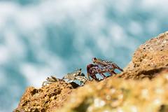 Cangrejos (Angela MGM) Tags: crab cangrejos naturalez animales nature animals ocean mar agua bokeh oceano