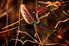 IMG_0007 Old and New (oldimageshoppe) Tags: leaves vines honeysuckle sidelight afternoonsun winter ortoneffect