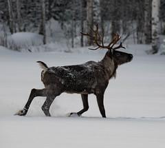 Finnish forest reindeer (tomi.a) Tags: finland suomi nature kauhava metsäpeura finnishforestreindeer petra snow winter antlers snowy snowflakes animal d850 flickr travel outdoor