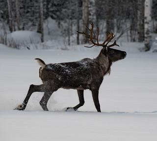 Finnish forest reindeer