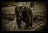 Chimpanzee (Seeing Things My Way...) Tags: chimpanzee ape primate bw tarongazoo