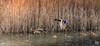506201802bMILANO-153 (GIALLO1963) Tags: lighting birds mallards couples wildlife nature europe italy lombardy milano parconordmilano flight winter citypark ngc carnaval masques