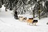 Revard 2 (Bob03C) Tags: chien savoie laféclaz forêt massifdesbauges traineau lerevard alpes montagne neige sapins snow frenchalps sleddogs pinesforrest