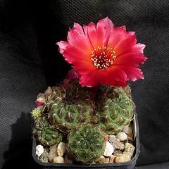 Sulcorebutia pasopayana WR593 '512' (Pequenos Electrodomésticos) Tags: cactus cacto flower flor sulcorebutia sulcorebutiapasopayanawr593