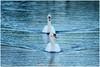 Zwanen (Hetwie) Tags: natuur water kanaal brouwhuis nature swans zwanen zwaan helmond noordbrabant nederland nl