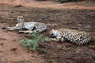 duo de guépards Afrique du sud
