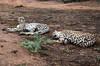 duo de guépards Afrique du sud (ichauvel) Tags: guépards cheetahs faune fauna animauxsauvage wildeanimals afriquedusud southafrica hoedspruit mpumalanga voyage travel exterieur outside savane sedormir sleeping reposer rest getty